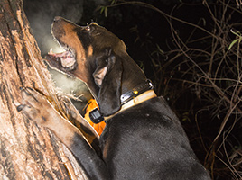 Close-up of Black and Tan Coon Hound wearing Garmin PRO Trashbreaker treeing at night.