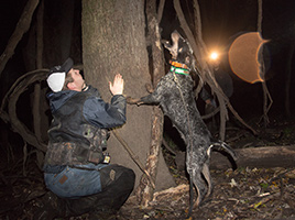 Coon hound treeing at night wearing Garmin PRO Trashbreaker e-collar
